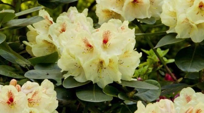 Rhododendrony w uprawie ogrodowej